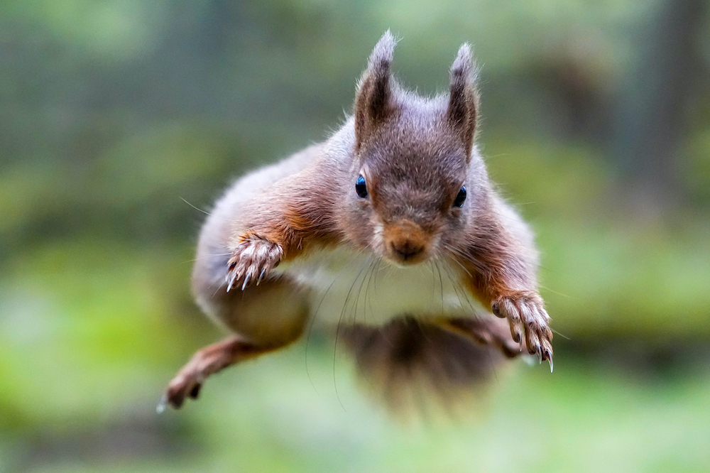 Jo Bird - Flying Red Squirrel